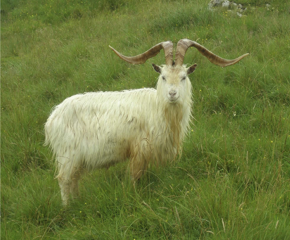 Great-Orme-Goat