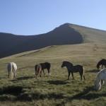 Pen y Fan ponies
