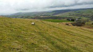 sheep grazing waxcap grasslands coity Wallia