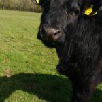 Welsh black calf