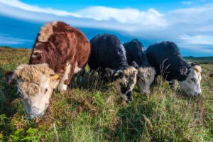 Coastal grazing with cattle