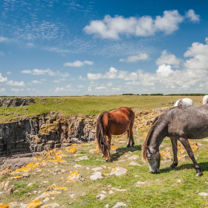 breakwater country park carneddau ponies