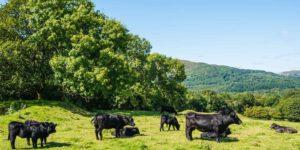 Cattle grazing at Meirionnydd