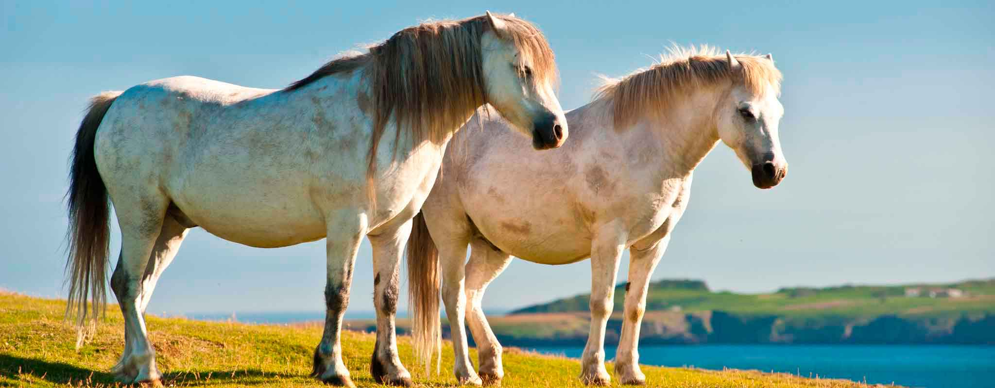 Ponies make excellent conservation grazing animals