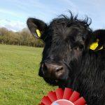 Royal Welsh Competition - find the Welsh black