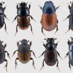British Dung Beetles