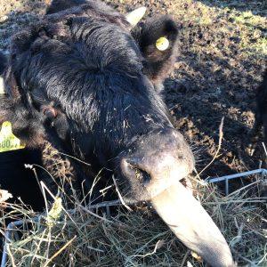 Dexter cattle The Dranges PONT Cymru Jeff Instagram