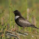 Flickr_-_Rainbirder_-_Ring_Ouzel_male