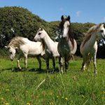 Pony Grazing Carningli PONT Cymru