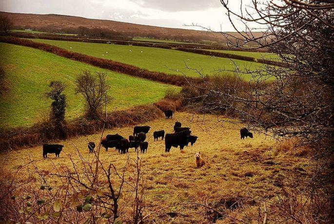 Gower Meadow Beef PONT Cymru Pasture Fed