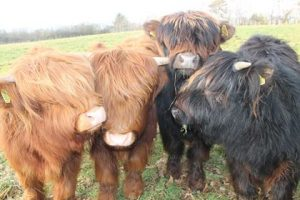 Ginger Fringer the Highland Cow, wildflower meadows Denmark Farm Conservation Centre, PONT Cymru