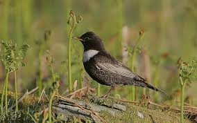 Ring Ouzel by Rain Birder Wikimedia Commons PONT Cymru