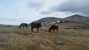 Carneddau ponies PONT Cymru