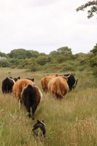 highlands and belties on cors goch pont cymru conservation grazing