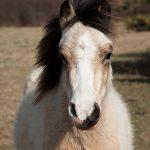 Ponies Cwm Colhuw PONT Cymru Vaughn Matthews (2)