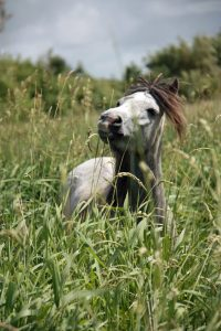 Pony grazing canary grass pont cymru why are ponies good at conservation grazing