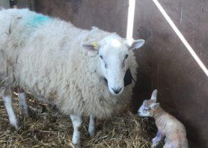 Sheep collars Kenfig PONT Cymru
