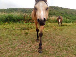 Torcoed welsh mountain ponies on Overton Mere PONT CYMRU photo jenni nellist