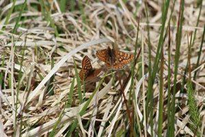 marsh fritillary dare valley country park pont cymru