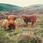 Highland cattle grazing coal spoil at Bryn Tip