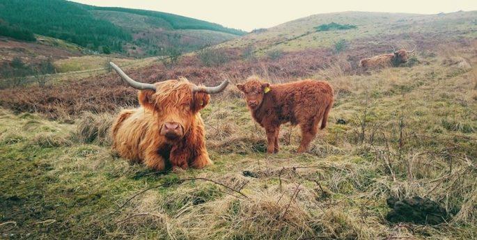 highland cattle bryn tip pont cymru