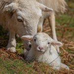 Seren the welsh mountain sheep PONT Cymru grazer of the week