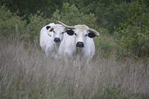 welsh whites woodland trust pont cymru