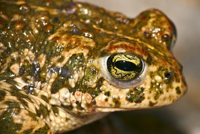 Natterjack Toad Epidalea calamita by berniedup is licensed under CC BY-SA 2.0