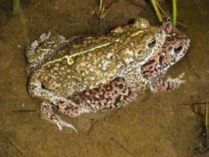 natterjack toads pont cymru ARC Trust