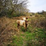 3 cattle y gweira grazer of the week pont cymru 2