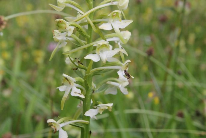 greater butterfly orchid pont cymru