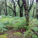hefted sheep pont cymru Llennyrch celtic rainforest conservation grazing