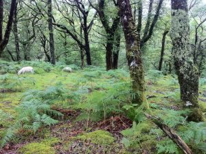 hefted sheep pont cymru Llennyrch celtic rainforest conservation grazing