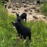 kennixton sheep on the island at wwt pont cymru