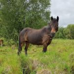 charlie the dartmoor pony hirwaun sub station lowland raised bog pont cymru