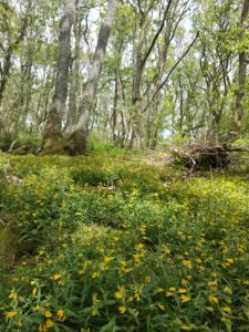 Pengelli forest Gloucestershire old spot pig conservation grazing pont cymru grazer of the week