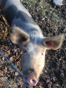 Gwenda Gloucestershire old spot pig conservation grazing pont cymru grazer of the week