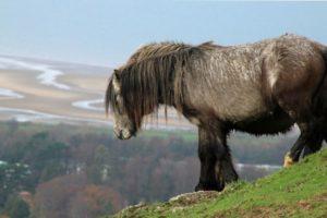 Carneddau Pony Snowdonia PONT Cymru