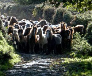 Carneddau Pony Gather Snowdonia PONT Cymru wild pony management