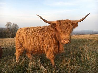 Angharad Highland Cow Coity Wallia Commons Pont cymru