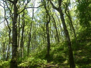 rspb coed y parc celtic rainforests conservation grazing PONT Cymru