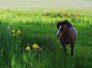 bo-peep cwm ivy marsh conservation grazing ponies PONT Cymru national trust