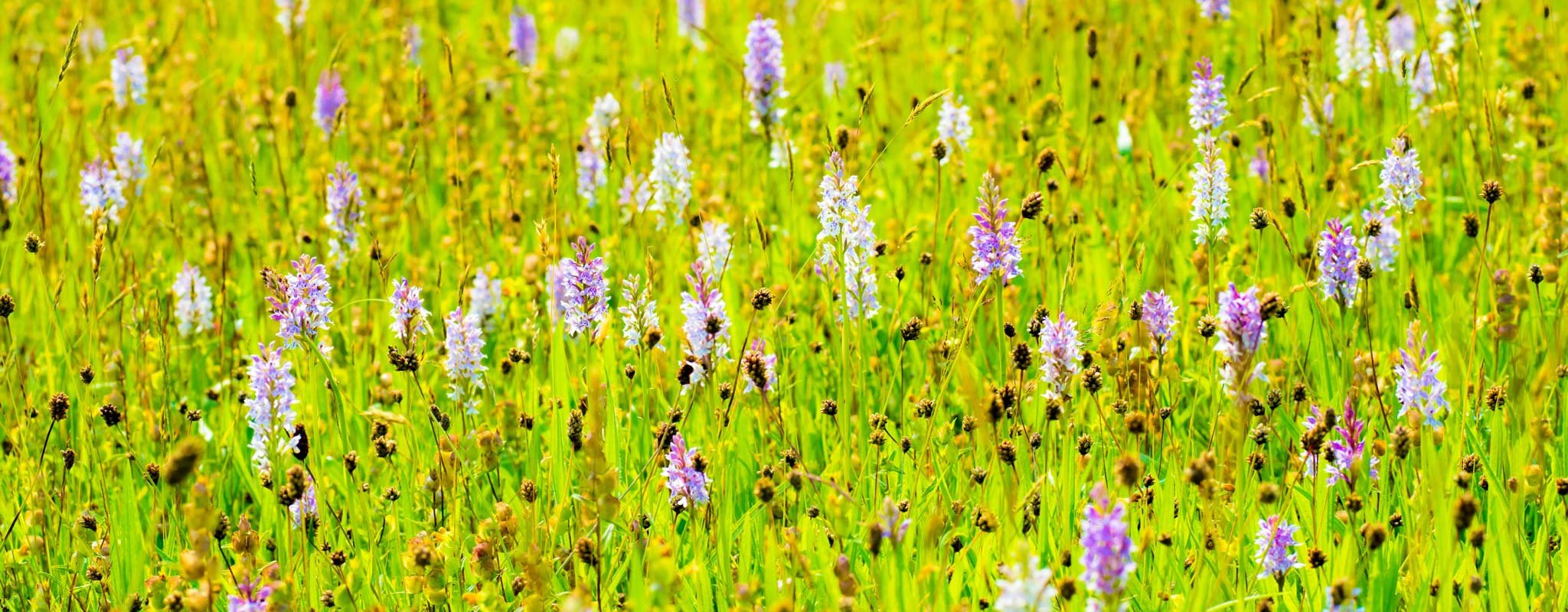 meadow with lots of orchids