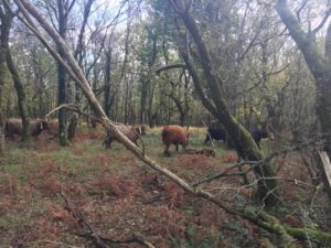 red grazer of the week pont cymru cow tan fairwood common gower