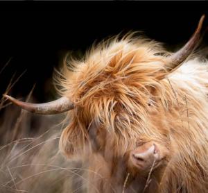rod stewart the highland grazer of the week pont cymru curlew conservation grazing