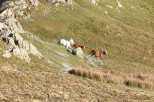 carneddau pony gather pont cymru conservation grazing