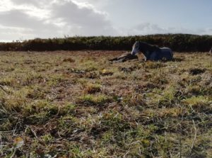 chloe grazer of the week conservation grazing gower meadows
