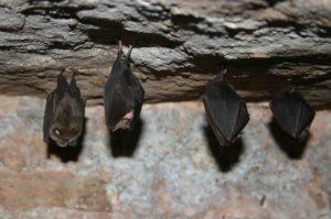 lesser horseshoe bat conservation grazing pont cymru