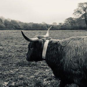 highland cow reflective collar coity wallia pont cymru woolies wellies wine