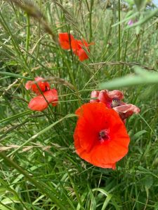 Arable weeds Slade Farm organics farming with nature
